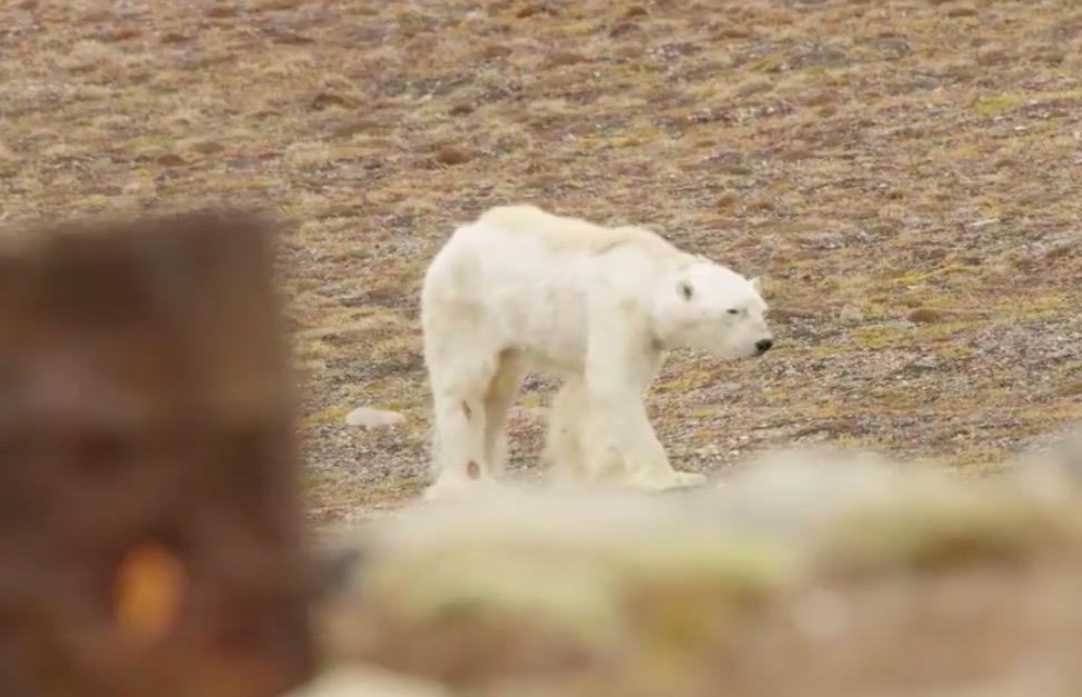 This viral video of a starving polar bear gives a terrifying glimpse into what climate change actually looks like