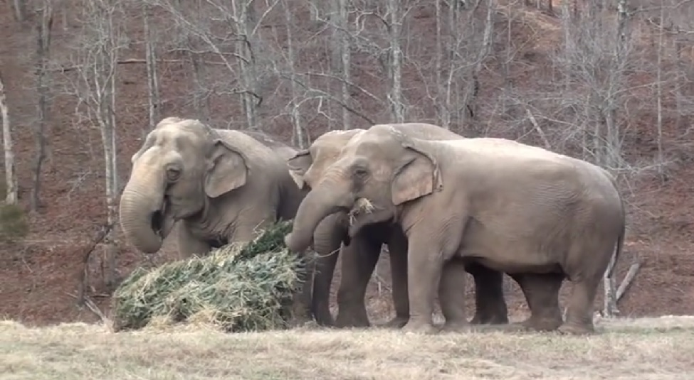 This sanctuary recycles Christmas trees by feeding them to the elephants, and it's as cute as it is eco-friendly