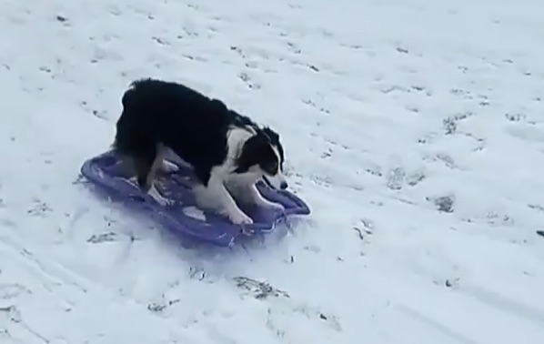 This dog figured out how to go sledding, and the video will cure your winter blues