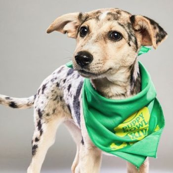 Just a bunch of pictures of cute doggos who are playing in the 2018 Puppy Bowl
