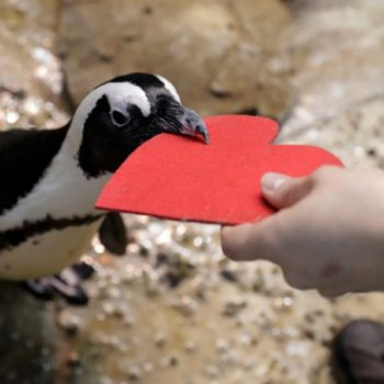 These penguins celebrated Valentine's Day, and we now know love is real