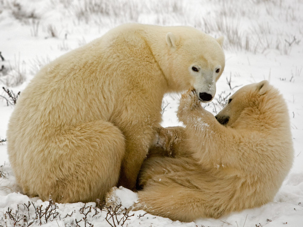 Why are polar bears endangered? Everything you need to know for International Polar Bear Day