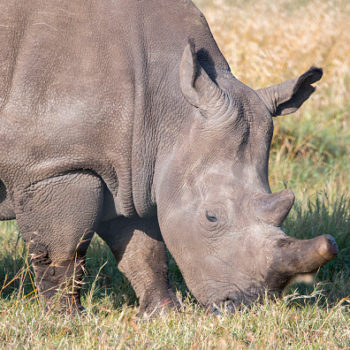 Why are northern white rhinos so endangered? There are only two left