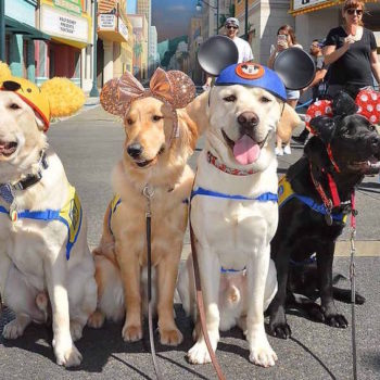 A bunch of service dogs took a field trip to Disneyland, and this is further proof it really is the happiest place on Earth