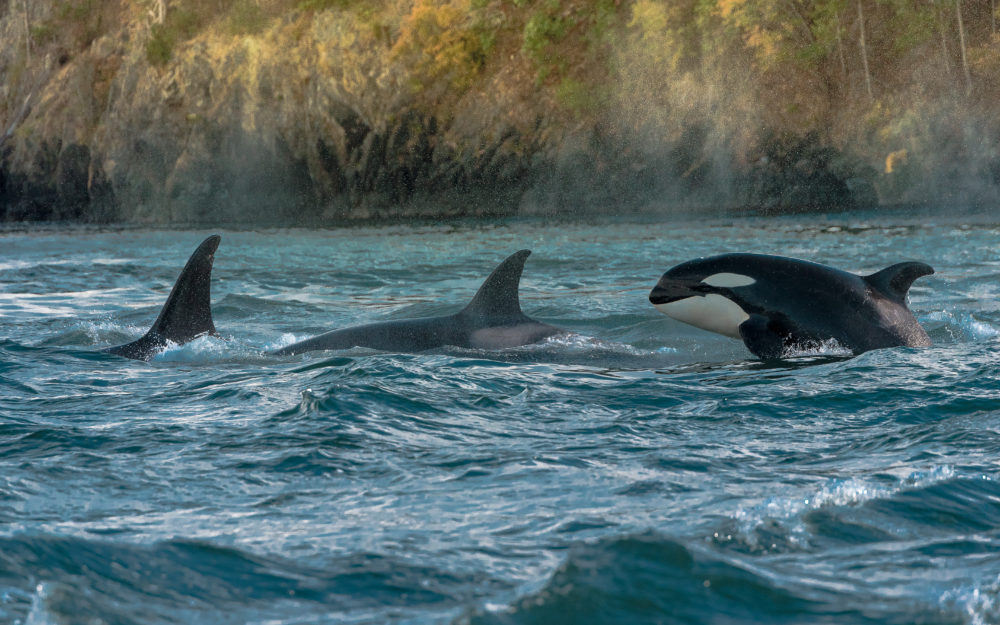 This footage of killer whales swimming in Seattle's Elliott Bay will give you shivers