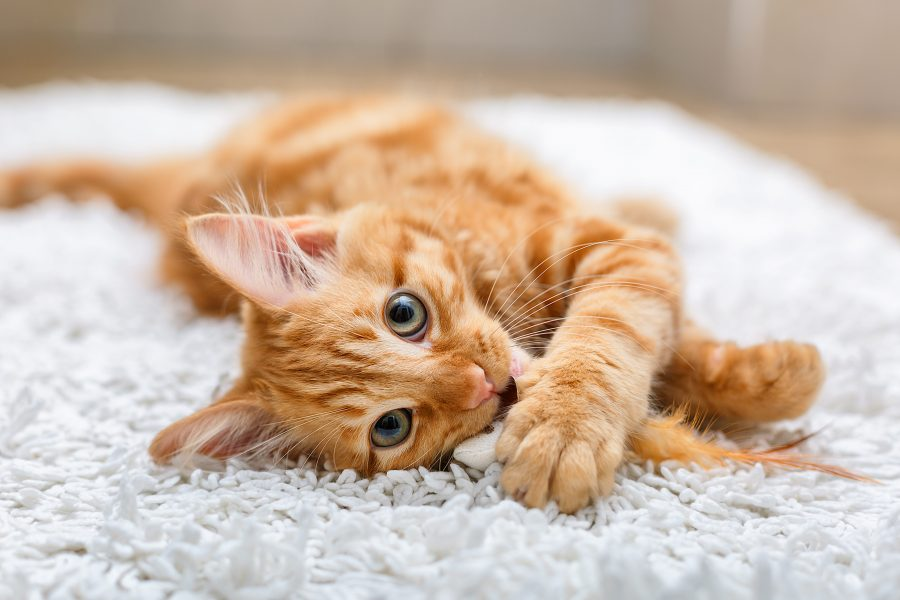 New York might become the first state to ban pet owners from declawing their cats
