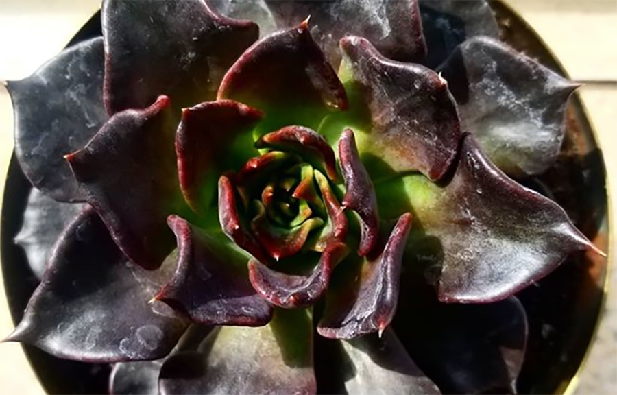 These black succulents are the prettiest spooky season decorations